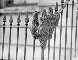 The hand of nature, Swarm of bees settles in London Street
