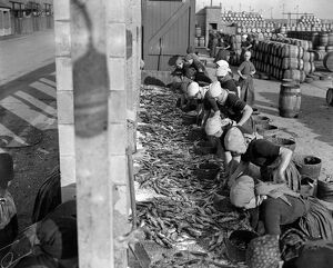 Herring Fishery at Great Yarmouth , Norfolk , England Fisher girls gutting and cleaning