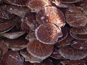 Local scallops in Dieppe, Seine-Maritime, Normandy, France
