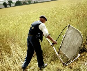 Man cutting corn with a scythe - harvesting by hand. Picture shows Fred Goldup, aged 72