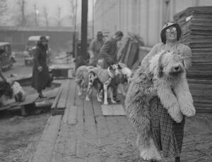 Miss I Webster carrying her Old English Sheepdog ' Sir John Marksman &quot