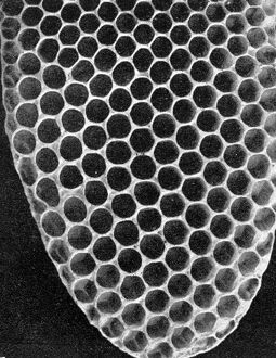 The Queen ' s Eggs : Legs as pollen carriers : the making of combs : Bees