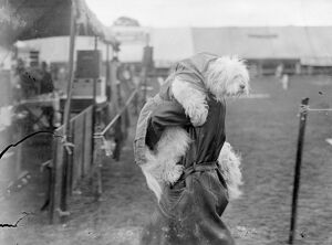 Rain would spoil his beauty!. An Old English Sheepdog wearing his 'mac' as