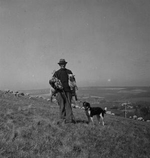 Sheep farming on the Sussex Downs near Rottingdean 1946