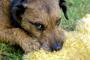 Small tan terrier dog {Lakeland/Border cross} with favourite soft toy on garden lawn