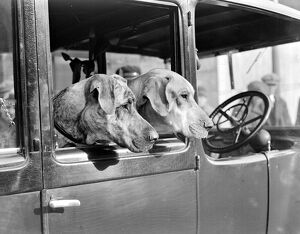 Surrey county dog show At Kensington Mrs. Hudson's Great Danes 23rd February, 1933