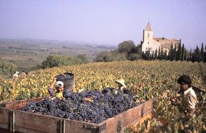 Wine harvest in a vineyard using foreign labour in the village of St-Guiraud, Herault