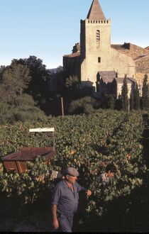 The wine harvest in a vineyard in the village of St-Guiraud, Herault, Midi, South