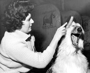 Xanadu of Carloway an Afghan Hound Dog being groomed by owner Mrs G Taylor of Esher