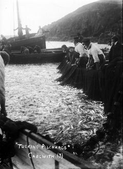 Tucking pilchards at Cadgwith, Cornwall