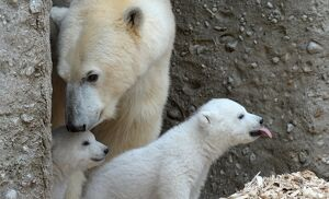14 WEEK OLD POLAR BEAR TWINS