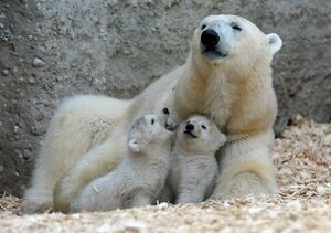 14 WEEK OLD POLAR BEAR TWINS PLAY WITH THEIR MOTHER