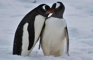 ANTARCTICA-CHILE-BASE-PENGUINS