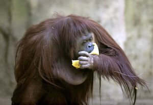 ARGENTINA-ANIMAL-RIGHTS-ORANGUTAN-OFFBEAT