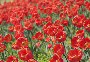 AUSTRAIA- NATURE - FLOWERS - TULIPS