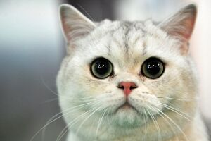 A British Shorthair cat looks on during a cat exhibition in Bishkek on March 23, 2013
