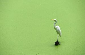 EGRET PERCHING ON LAKE FOLIAGE