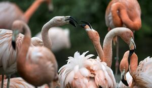 Flamingos are pictured on May 13, 2014 at the Tierpark in Berlin, one of the two