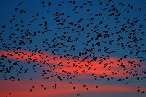 Flocks of ravens from northern Poland and Russia arrive in the southern Czech town