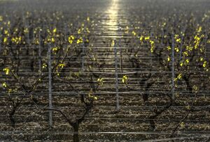 FRANCE-AGRICULTURE-WINE-WEATHER