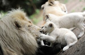FRANCE-NATURE-ANIMALS-LION