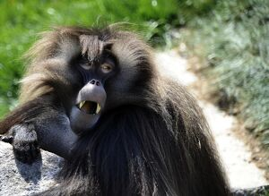 FRANCE-ZOO-ANIMAL-GELADA BABOON