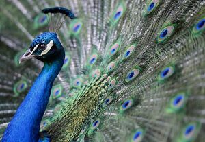 HUNGARY-ZOO-PEACOCK-FEATURE