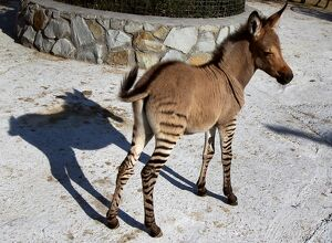 A HYBRID OF ZEBRA AND A DONKEY STANDS AT THE TAIGAN ZOO PARK