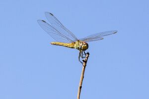 ISRAEL-NATURE-INSECT-DRAGONFLY