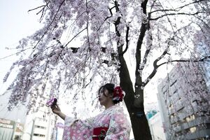 JAPAN-LIFESTYLE-CHERRY-BLOSSOM