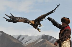 A Kyrgyz berkutchi (eagle hunter) releases his bird, a golden eagle, during the hunting