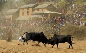 NEPAL-ANIMAL-BULL FIGHT