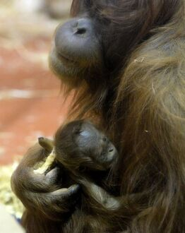 A new-born Orangutan (Pongo abelii) baby is held by her 12-year-old mother Jula
