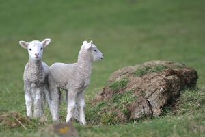 NEW ZEALAND-ANIMAL-LAMBS