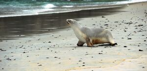 NEW ZEALAND-ANIMAL- SEA LION