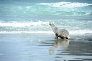 NEW ZEALAND-ANIMAL-SEA LION