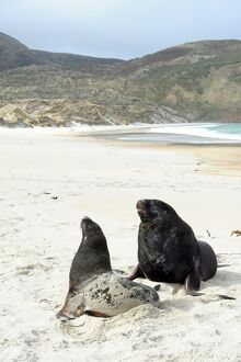 NEW ZEALAND-BEACH-SEA LIONS