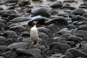 NEW ZEALAND-FEATURE-ANIMAL-PENGUIN