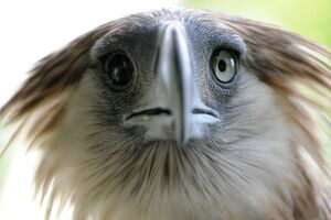 PHILIPPINES-ENVIRONMENT-WILD LIFE-EAGLE