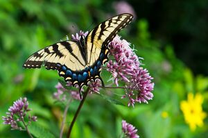 This photo taken August 9, 2014 shows an Eastern Tiger Swallowtail along Skyline