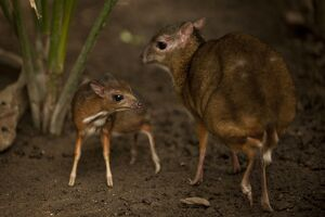 A picture taken on April 25, 2014 shows a Java mouse-deer cub, one of the world's