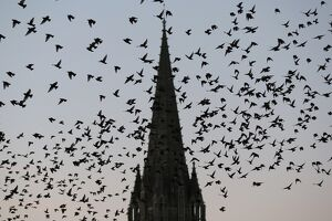 Pigeons fly over the northwestern city of Caen on October 8, 2015