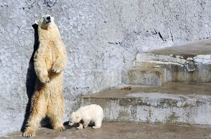 RUSSIA-ANIMALS-POLAR BEAR-CUB