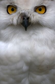 SNOW OWL WATCHING VISITORS