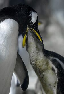 SPAIN-ANIMALS-FAUNIA-PENGUIN