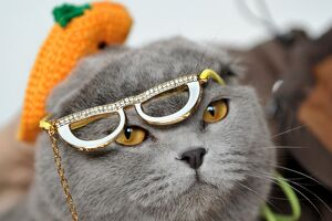 Wearing a hat and glasses a Scottish Fold cat looks on during a cat exhibition in
