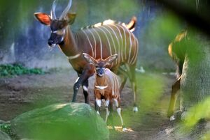 Two Week-old Eastern Bongo Calf and Mother