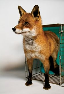 An alert European red fox emerges from an open cage. Feral Peril