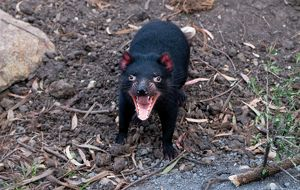 Black Tasmanian Devil from above with open mouth ready to growl.