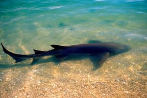A brown shark swims in shallow water. The Edge of the World
